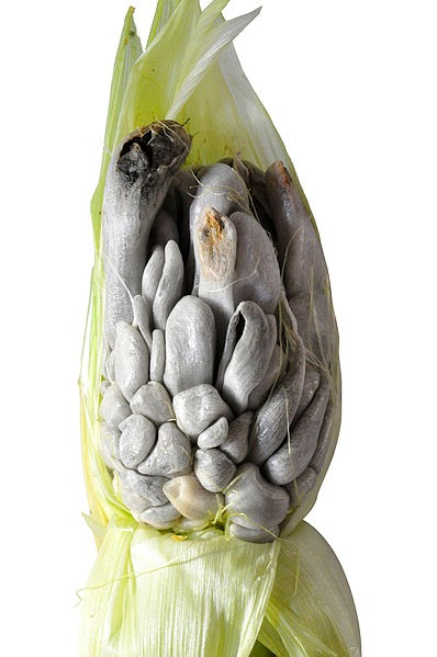 Huitlacoche: What is it & how is it used?