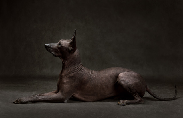 A Brief History Of Xoloitzcuintli Breed